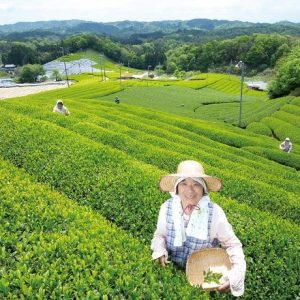 A hidden major producer of Uji tea