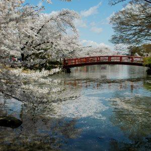 臥竜公園桜(ながの)