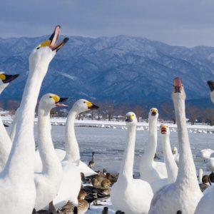 ダイナミックな白鳥の舞を観賞