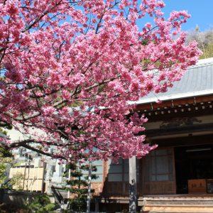 早咲きの土肥桜で春を先取り