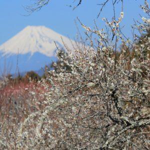 修善寺梅林(富士山)